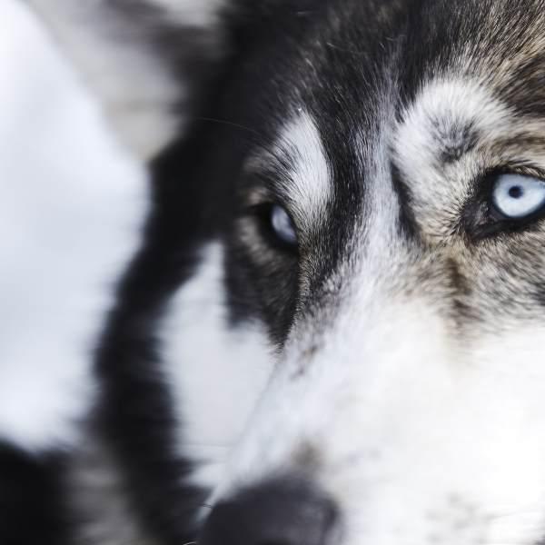 portrait de chiens de traîneaux, Laponie suédoise