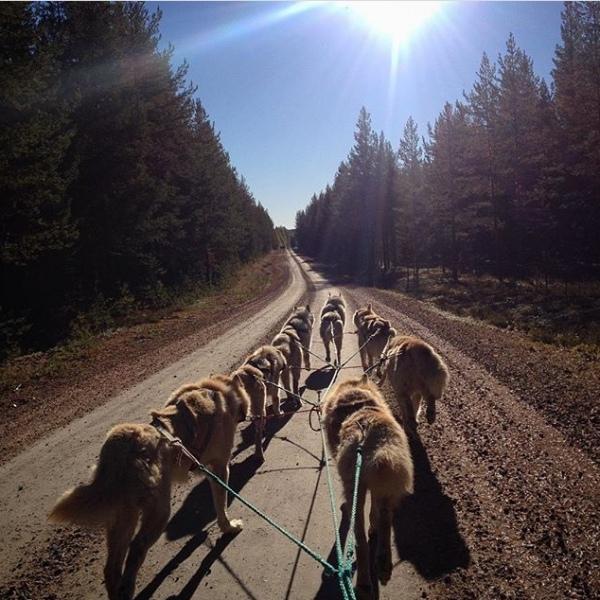 entrainement des chiens de traîneaux  en laponie