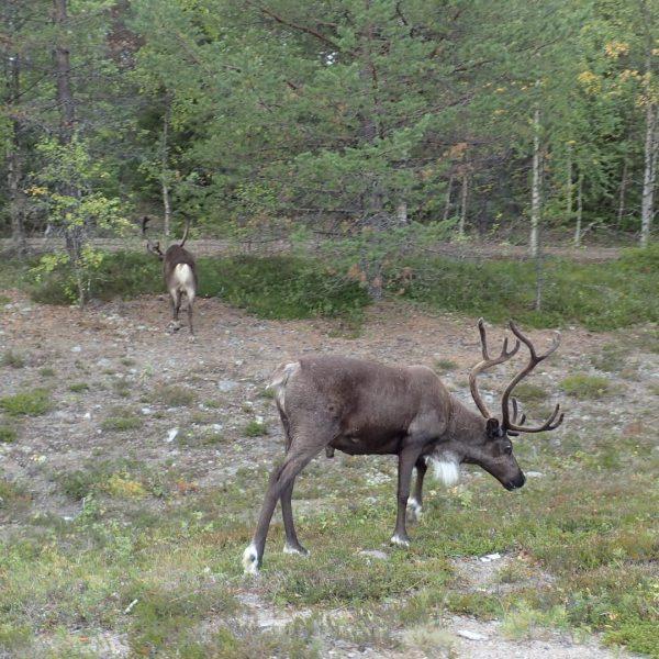 renne en Laponie suédoise