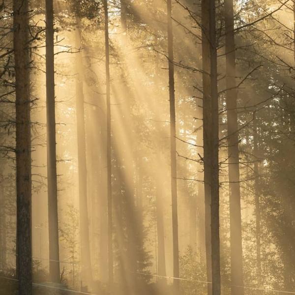 lumière d'été en forêt, Laponie Suédoise