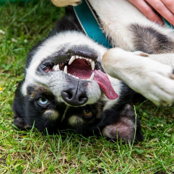 balade avec des chiens de traîneaux, Laponie Suédoise