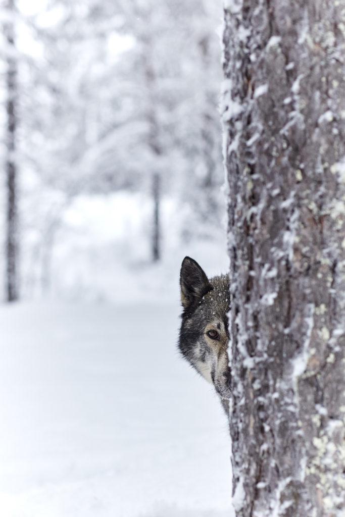 contacter notre entreprise de chien de traîneau en Laponie suédoise