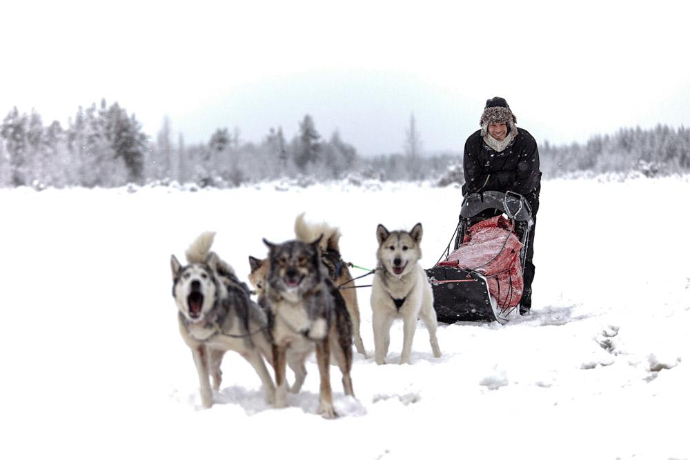 Conduite d'attelage de chiens de traineaux