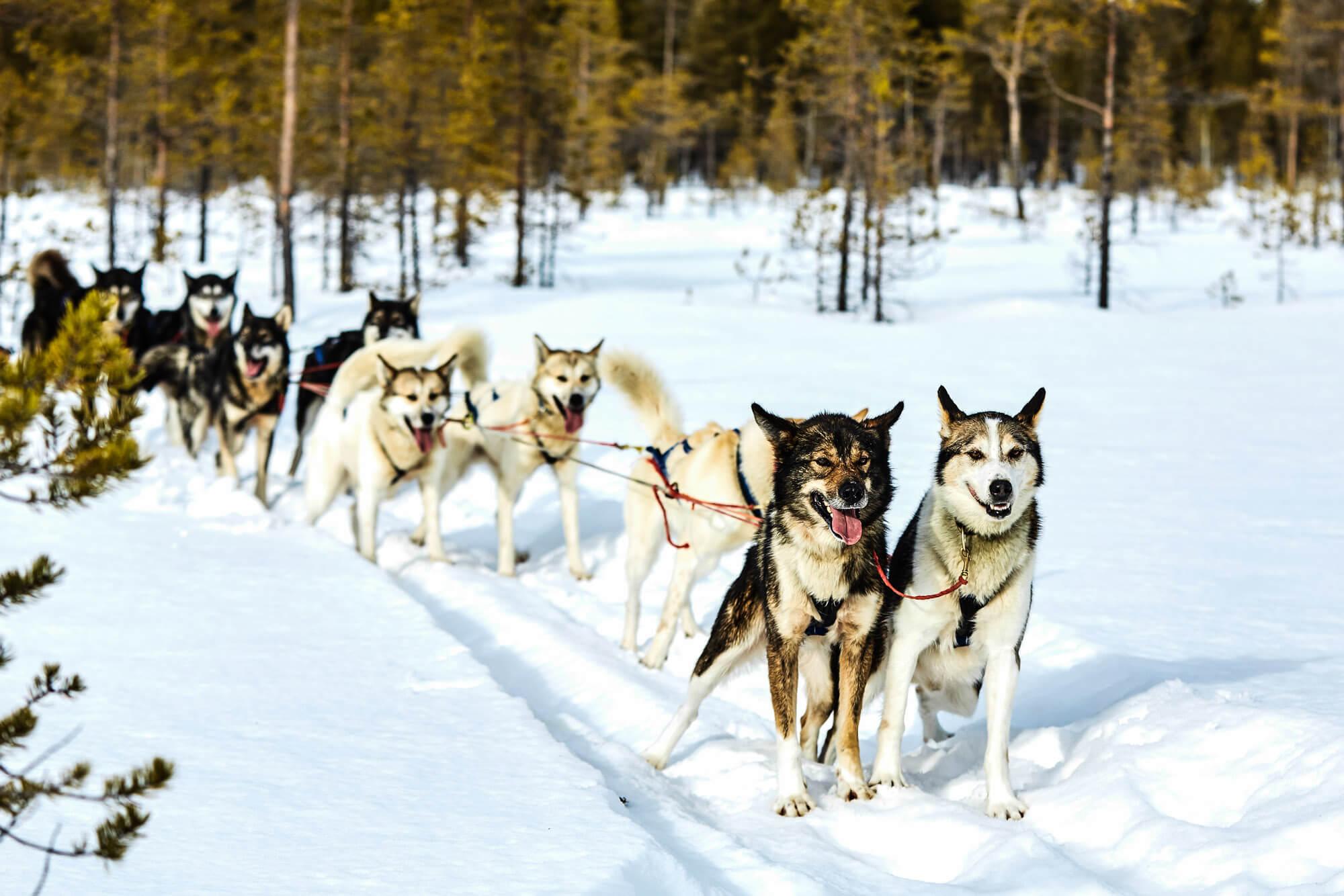 attelage de chiens de traîneaux en Laponie