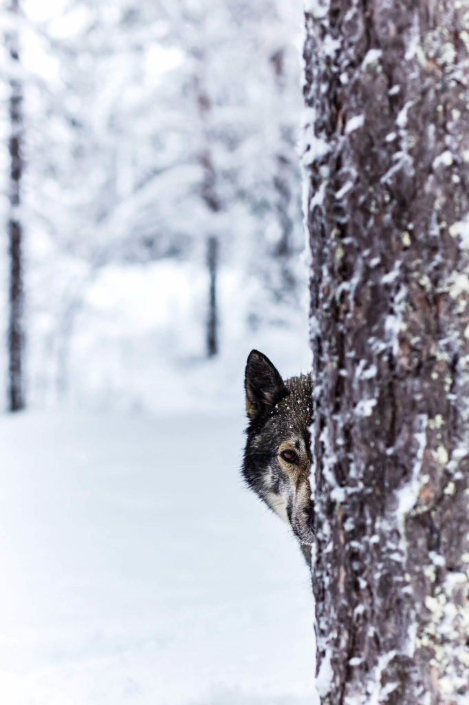 Portrait of an Alaskan husky half hidden behind a tree in Swedish Lapland