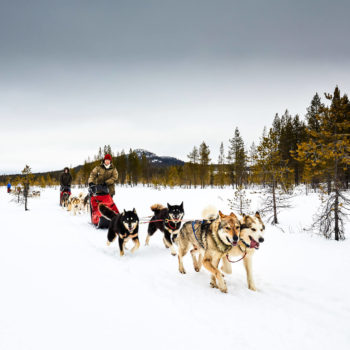 Happy sled dogs in Swedish Lapland