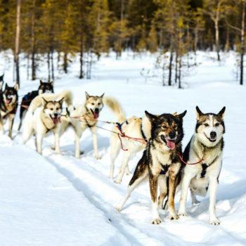 Dog team in Swedish Lapland