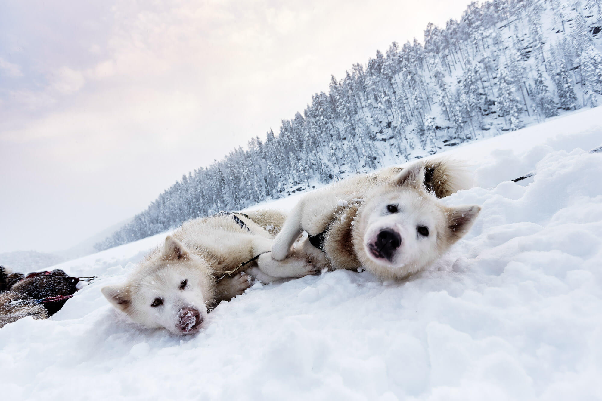 Two Greenlander dogs lying on the snow in Swedish Lapland