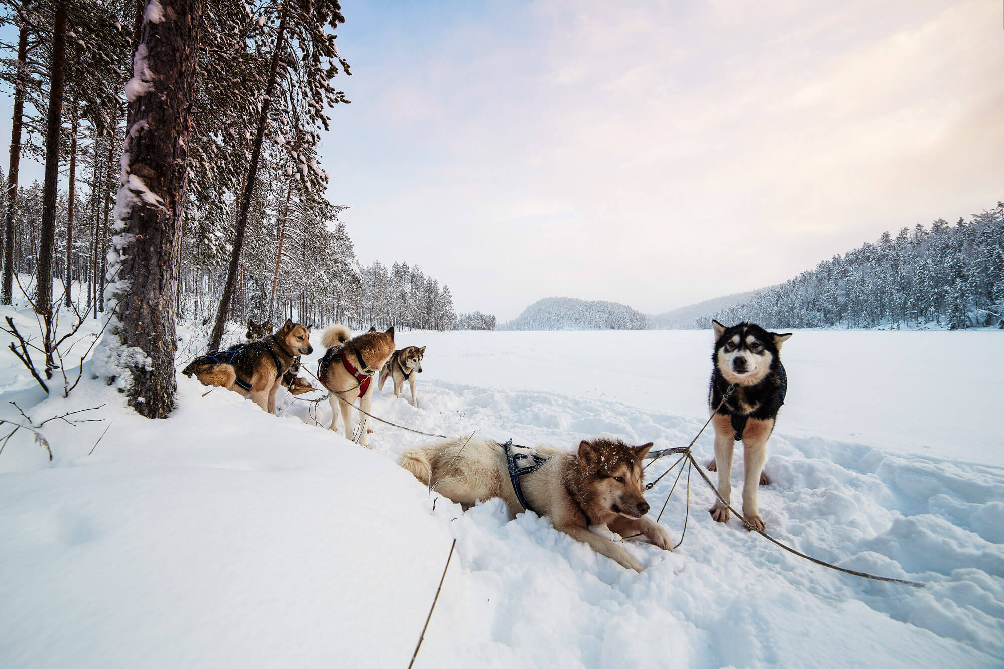 Sled dogs resting in the snow during a break in Swedish Lapland