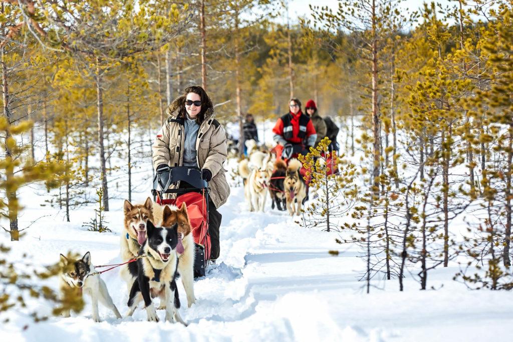 Attelagse de chiens de traîneaux en Laponie Suédoise