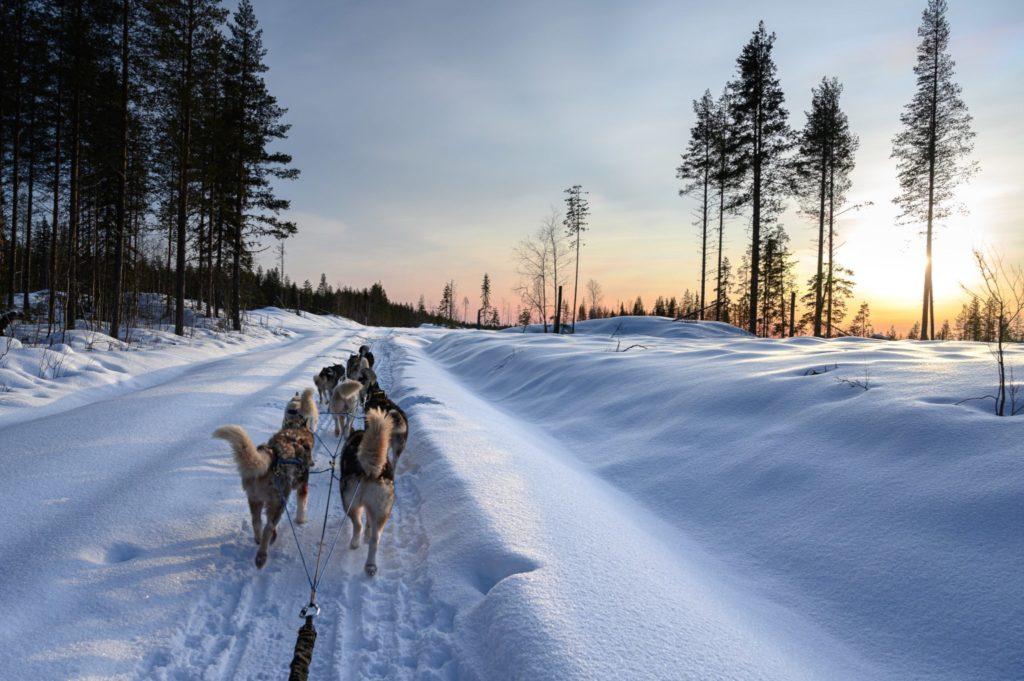 Attelage de chiens de traîneaux en Laponie suédoise