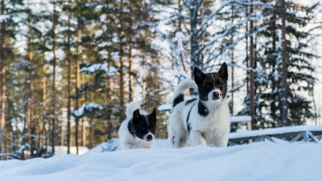 Alaskan husky puppies in Swedish Lapland