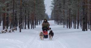 Musher en Laponie suédoise