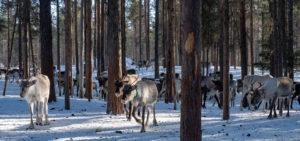 Troupeau de rennes en Laponie suédoise