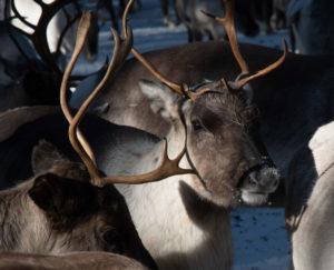 Têtes de rennes en Laponie suédoise