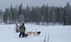 Chiens de traineaux en Laponie suédoise