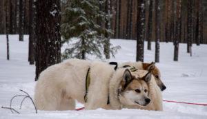 Les chiens de tête de l'attelage