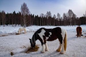 Chevaux islandais en Laponie suédoise
