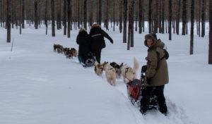Traineau à chiens dans la poudreuse