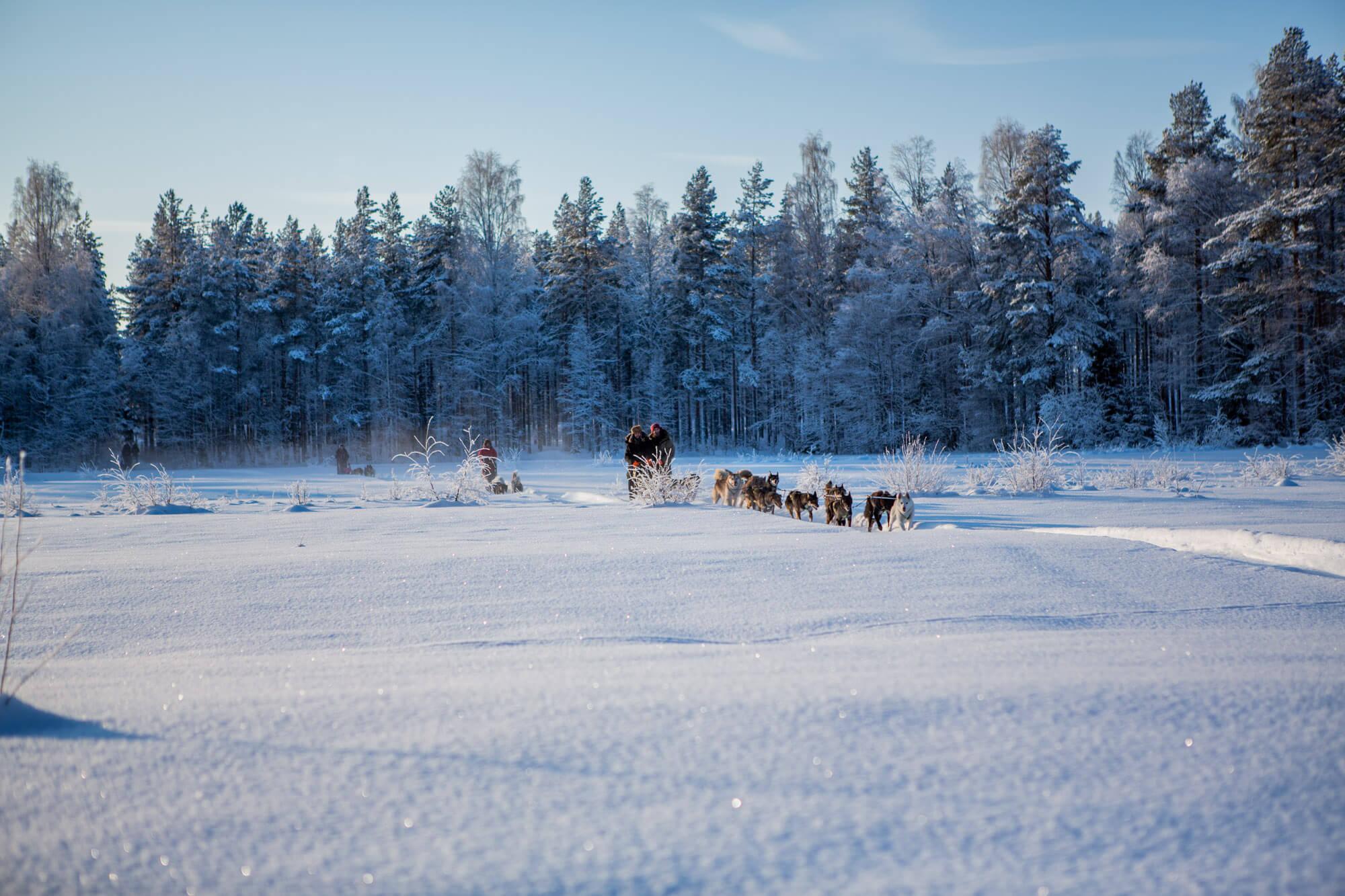 Attelage de chiens de traineau en forêt en Laponie suédoise