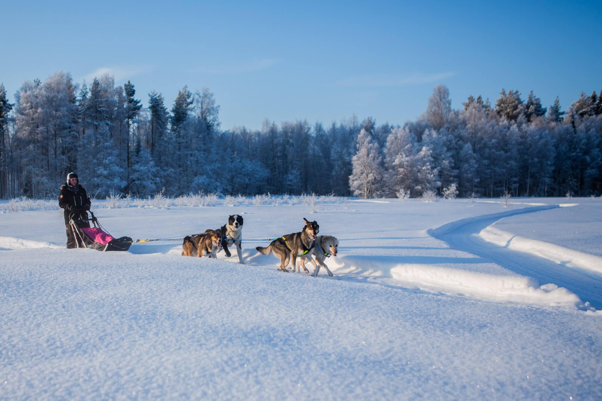 Attelage de chiens de traineau en Laponie suédoise