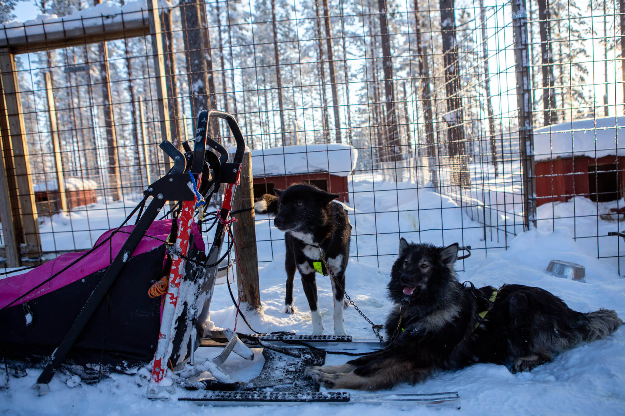 Sled dogs patiently waiting for the start of the trip in Swedish Lapland