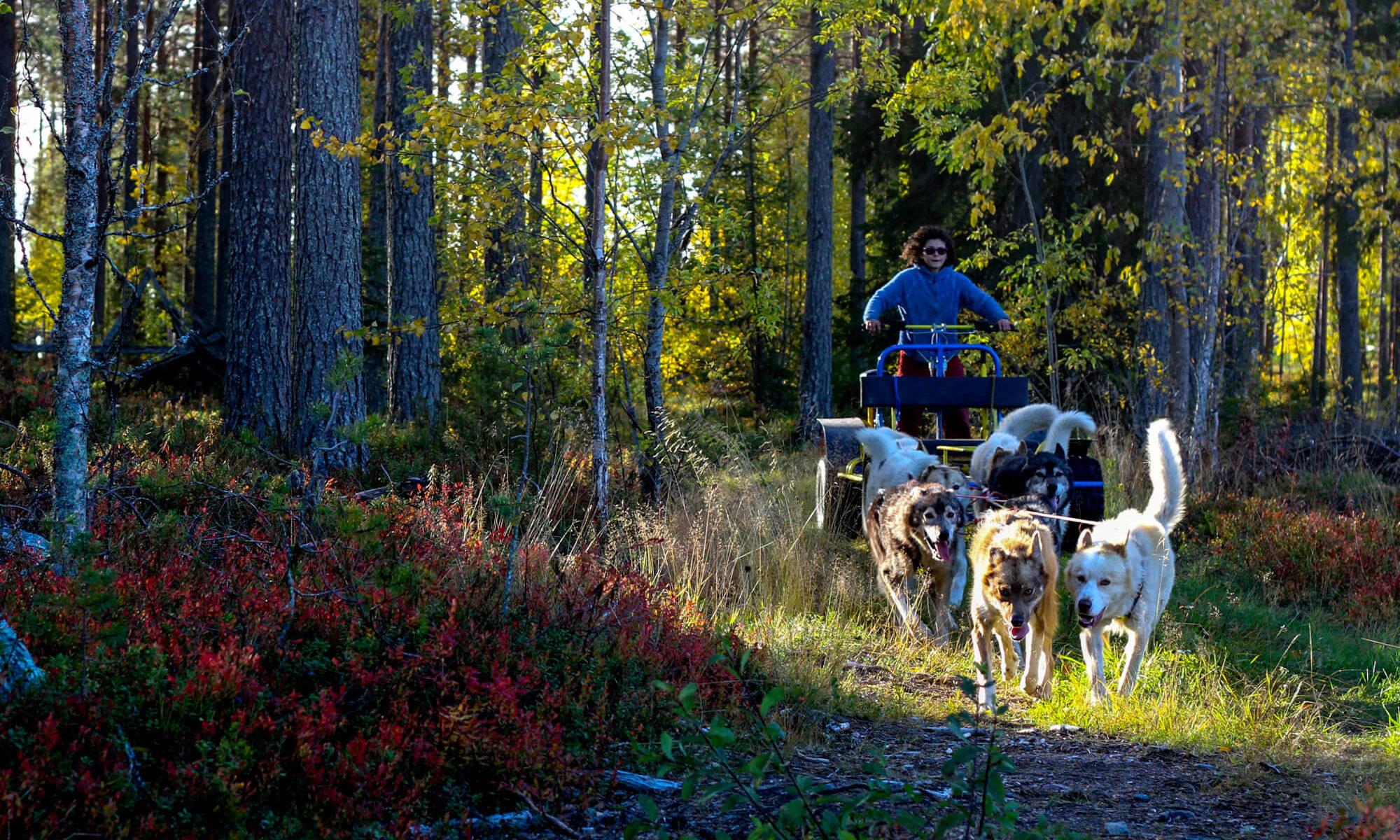 Entrainement de chiens de traineau à l'automne en Laponie suédoise