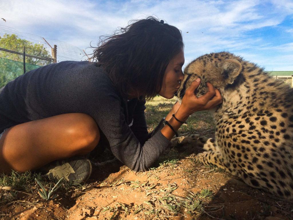 Un guépard du Daniell's Cheetah Project en Afrique du Sud