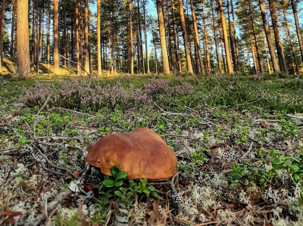 Champignons en Laponie suédoise