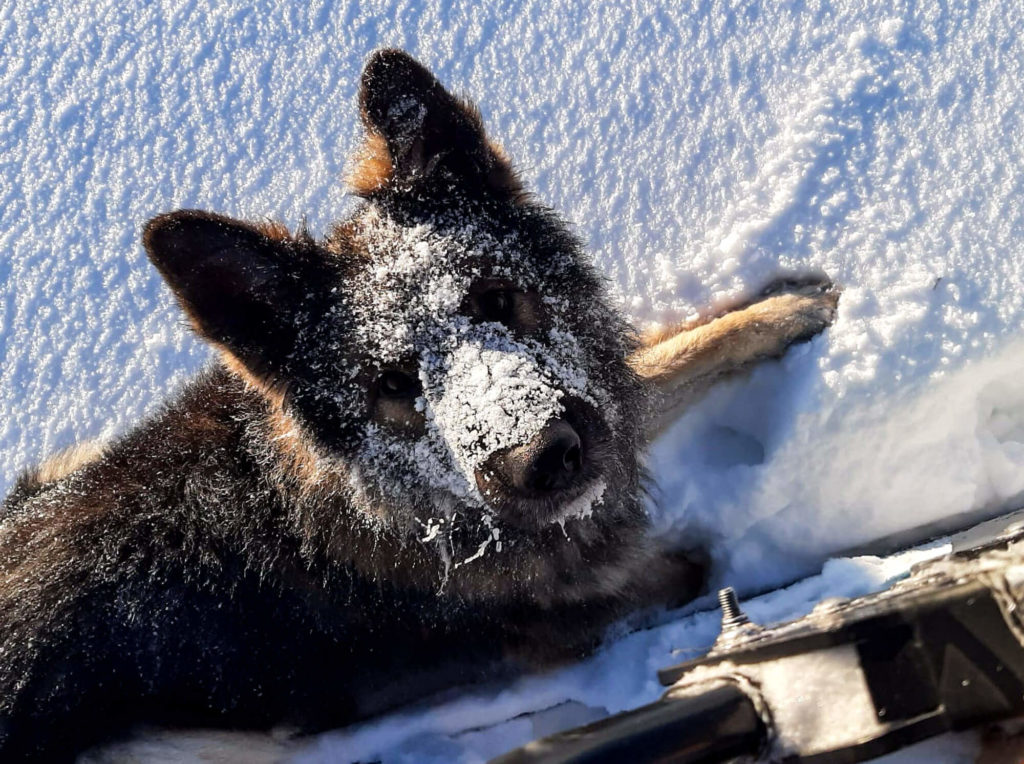 Chien dans la neige en Laponie suédoise