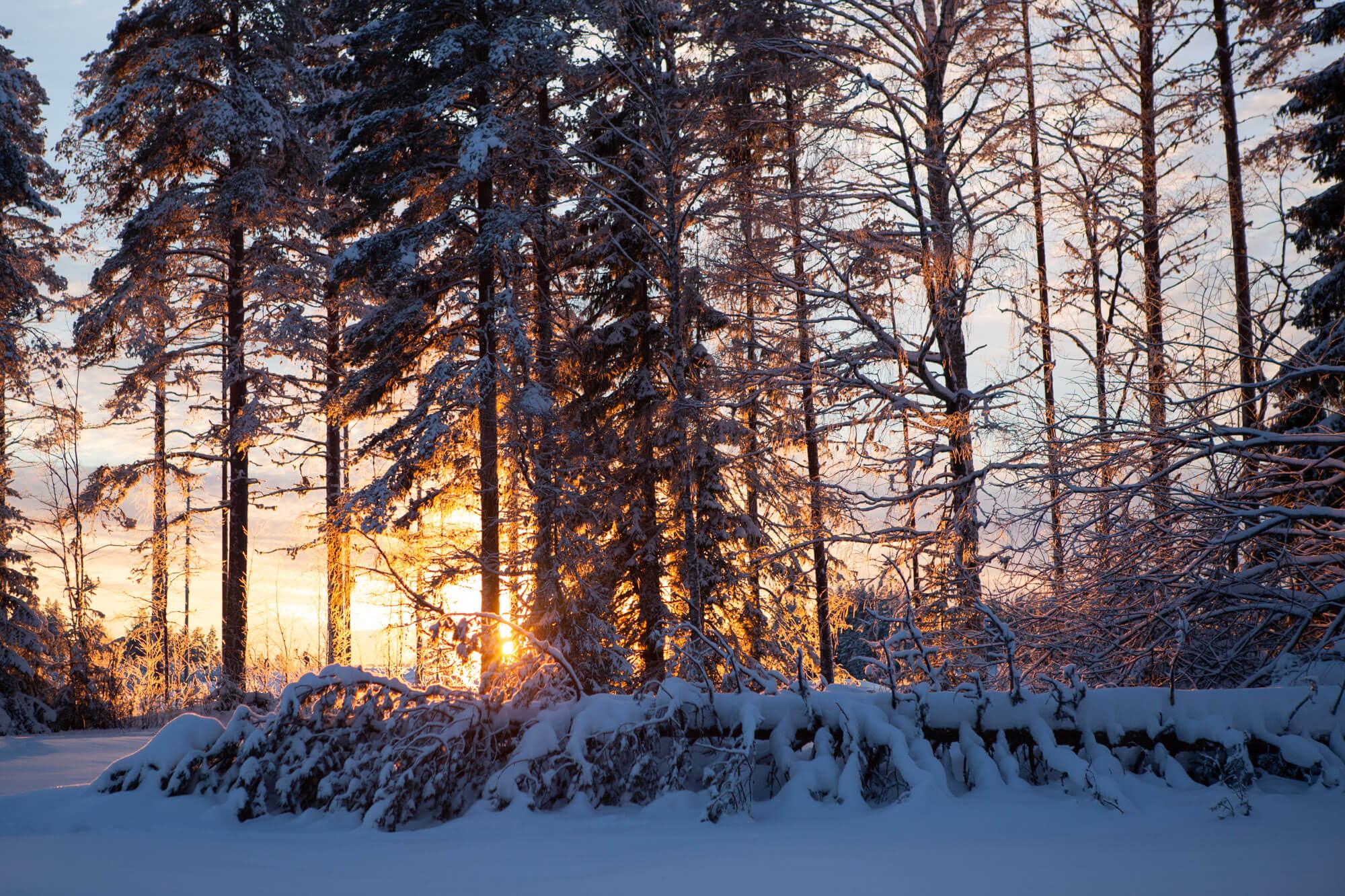Le soleil se couche derrière les sapins enneigés en Laponie suédoise