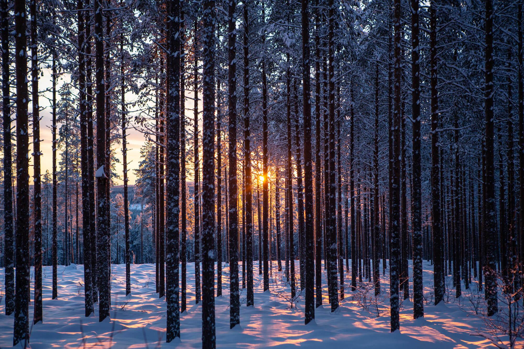 Vue du soleil à travers les sapins en Laponie suédoise