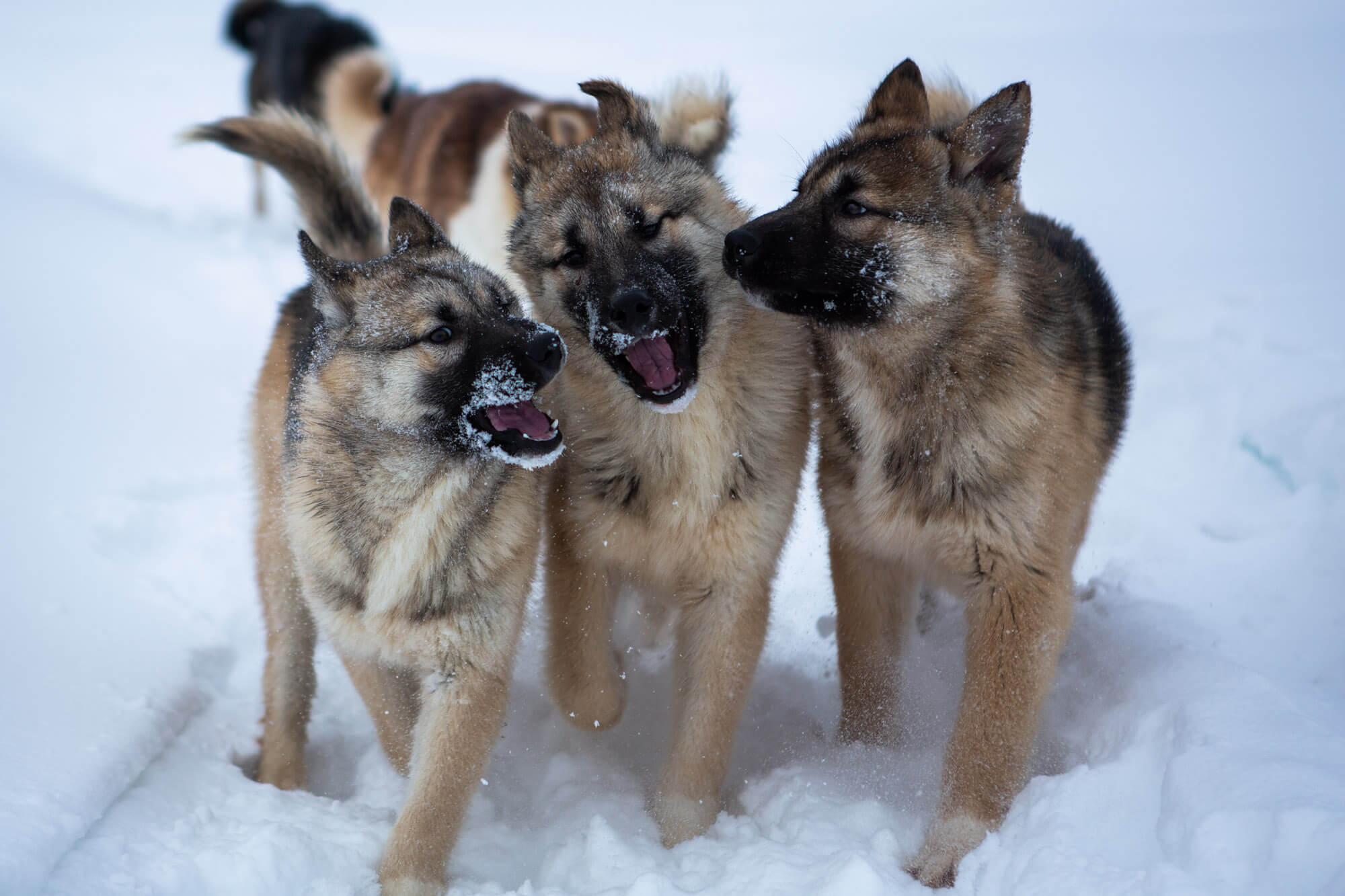 Trois chiots se promènent dans la neige en laponie suédoise