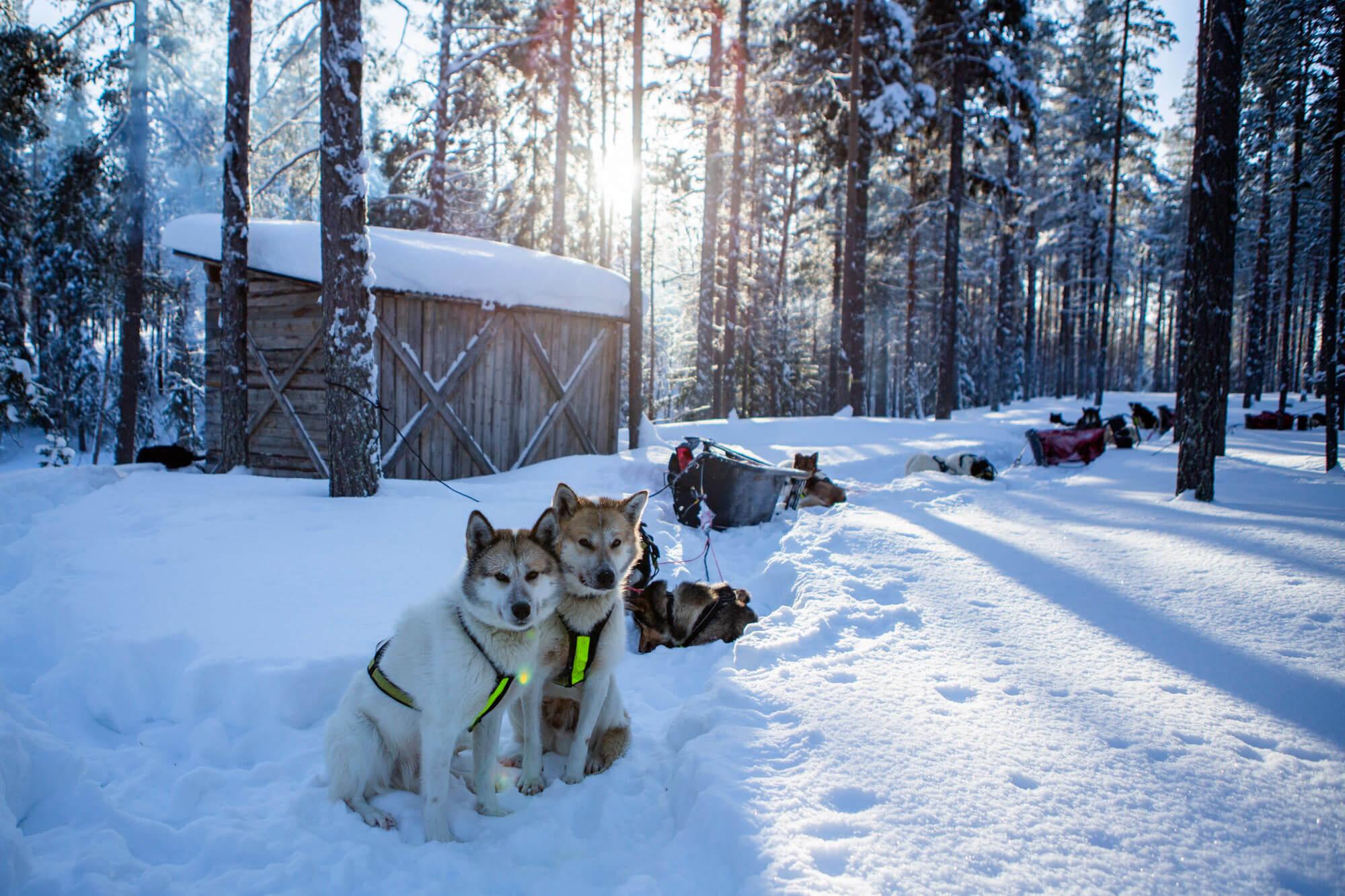 Attelade de chiens de traineaux parqués pendant la pause déjeuner en laponie suédoise