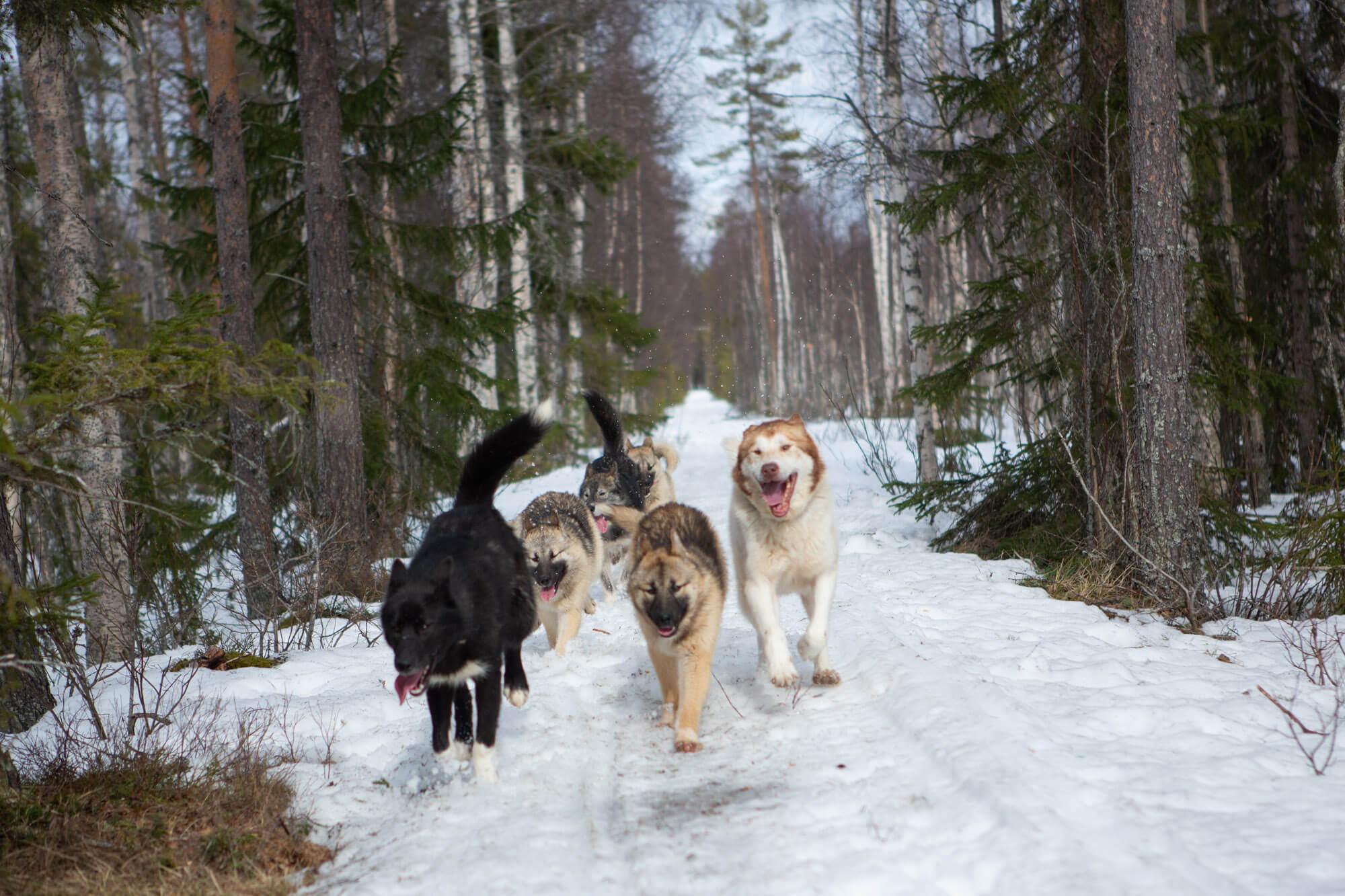 Des chiens en balade en hiver en laponie suédoise