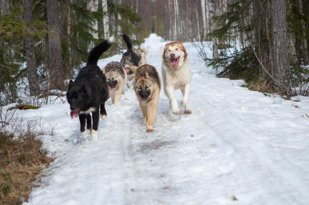 Chiens de traineaux en balade en Laponie suédoise