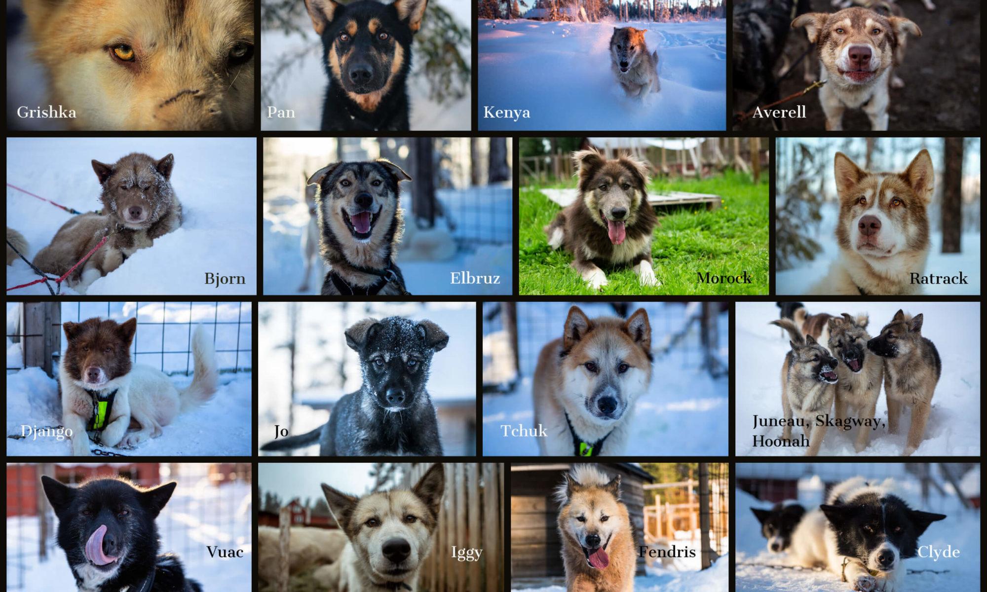 portraits de chiens de traineaux