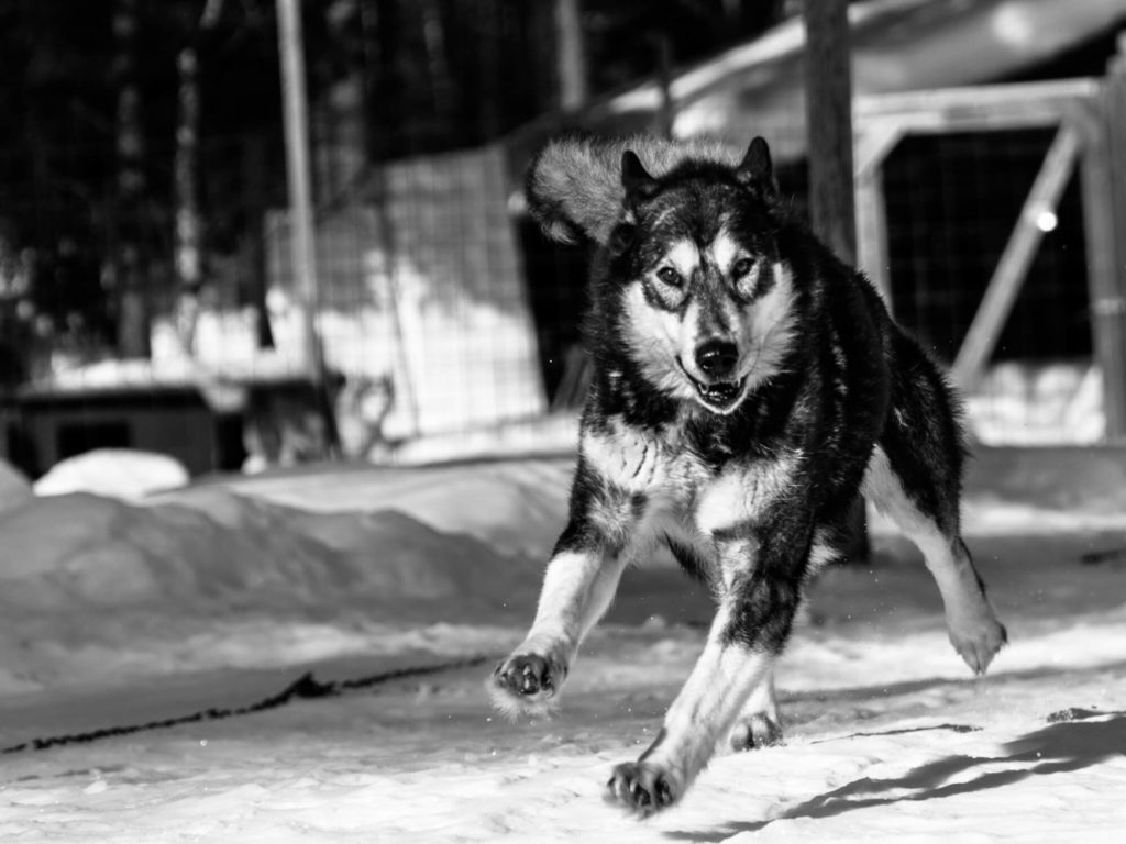 Photo en noir et blanc d'un malamute en train de courir