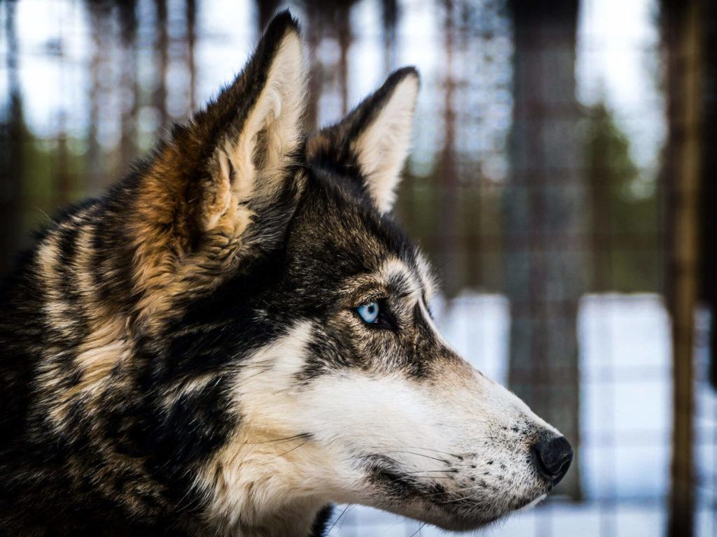 Portrait d'un husky de sibérie en laponie suédoise
