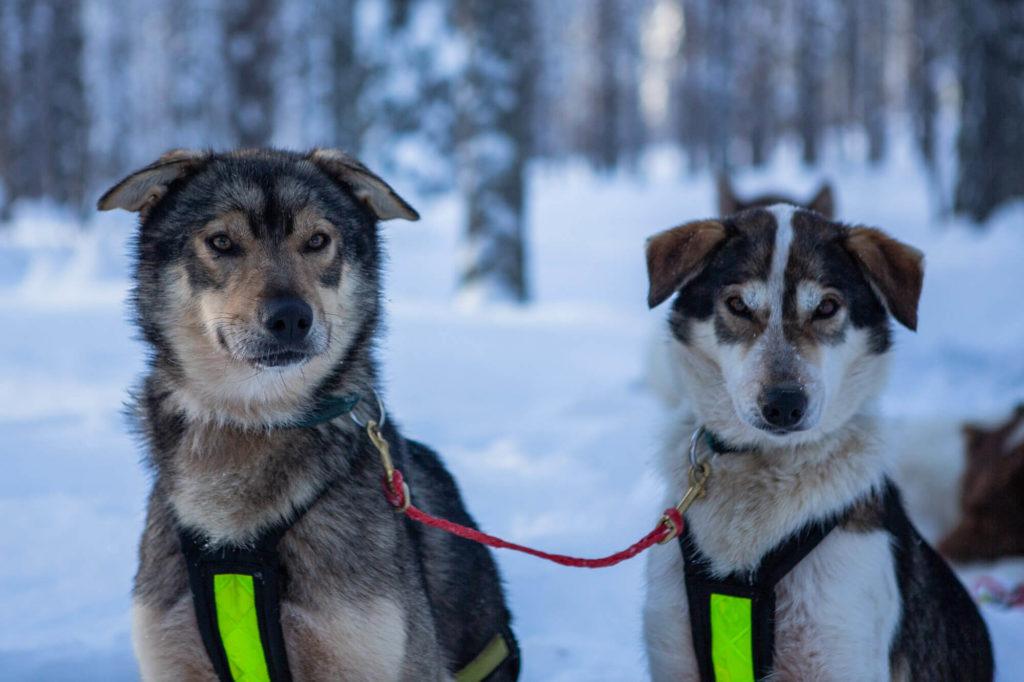 Deux Alaskan Huskys (race de chiens de traineau)  posent pour la photo en laponie suédoise