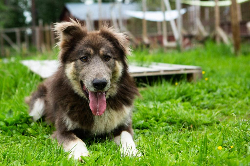 Un Taimyr de Sibérie (rare race de chiens de traineau)  en Laponie suédoise