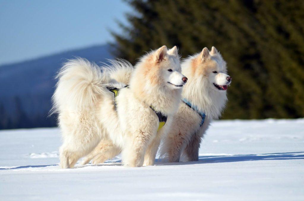 Deux samoyedes attelés dans la neige