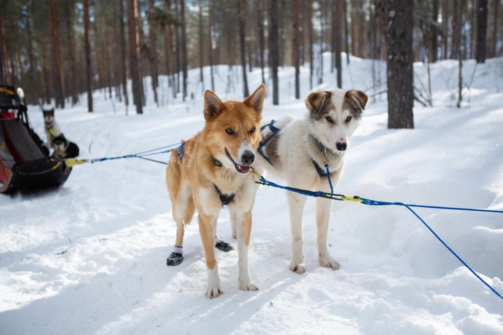 Deux alaskan huskys attelés en Laponie suedoise