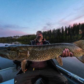 Un brochet pris pendant un de nos séjours de pêche en laponie suédoise